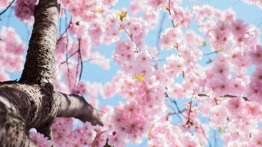 サクラサク。2020年の桜開花は明日がピーク!春散歩のススメ。